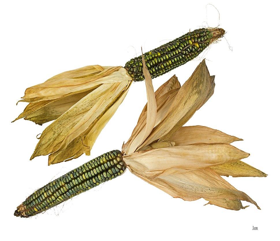 Dent Corn 'Oaxacan Green' (Zea mays) MHNT 2
