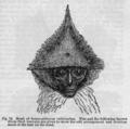 Descent of Man - Burt 1874 - Fig 72.png