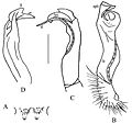 Desmoxytes lui gonopods.jpg