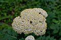 Detmold - 2014-06-13 - LIP-066 - Tanacetum macrophyllum (01).jpg