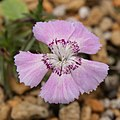 Dianthus alpinus 01.jpg
