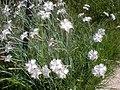 Dianthus anatolicus 2a.jpg