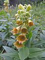 Digitalis grandiflora Postavarul.jpg