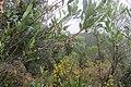 Dodonaea viscosa Jacq. (AM AK352671-3).jpg