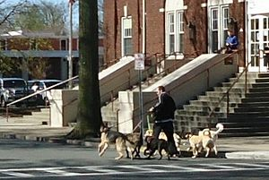 Dog walking - This professional dog walker on skates is pulled rapidly down a street by six dogs in Summit, New Jersey.