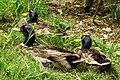 Domestic mallards (Anas platyrhynchos), Taiwan2.jpg