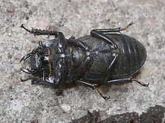 Dorcus parallelipipedus 20050704 506 part.jpg