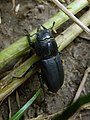 Dorcus parallelipipedus Foci dell'Avisio 02.jpg