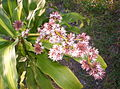 Dracaena fragrans Massangeana flower.jpg