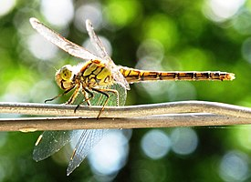 Dragonfly - green.jpg