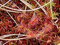 Drosera rotundifolia ne1.jpg