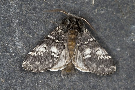 Drymonia ruficornis 01(js), Lodz (Poland).jpg