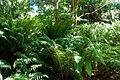 Dryopteris wallichiana - UBC Botanical Garden - Vancouver, Canada - DSC07702.jpg
