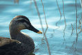 Duck in blue ripple (13192882804).jpg