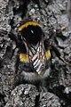 Duisburg 08.05.2017 Buff-tailed Bumblebee - Bombus terrestris (34776108616).jpg