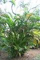 Dypsis lutescens 8zz.jpg