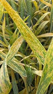 Wheat yellow rust