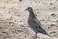 Eared Dove Paloma Sabanera (Zenaida auriculata) (23423523919).jpg