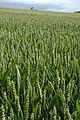 Ears of wheat, Stowell - geograph.org.uk - 885933.jpg