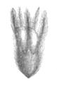 Ebenus cretica flower Taub123a.png