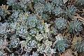 Echeveria leucotricha.jpg