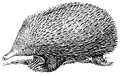 Echidna (PSF).png