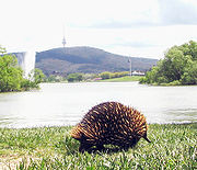 In Australia the Short-beaked Echidna may be found in many environments, including urban parkland such as the shores of Lake Burley Griffin in Canberra, as depicted here.