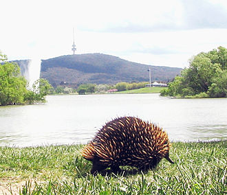 Echidna - In Australia, the short-beaked echidna may be found in many environments, including urban parkland, such as the shores of Lake Burley Griffin in Canberra, as depicted here.