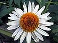 Echinacea purpurea Fragrant Angel 1zz.jpg