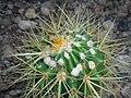 Echinocactus grusonii 2016-05-31 1779.jpg