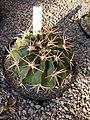 Echinocactus texensis (2).jpg
