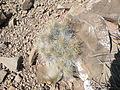 Echinocereus stramineus (5686774636).jpg
