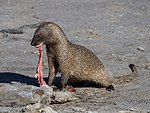 Egyptian mongoose eating catfish.jpg