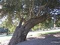 El Monte Park Leaning Oak - panoramio.jpg