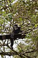 Electrocuted lion-tailed macaque infant in Valparai DSC 2593.jpg