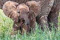 Elephant - Tarangire National Park - Tanzania-4 (34980884891).jpg
