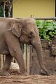 Elephants at Chester Zoo 2.jpg