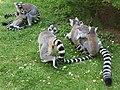Em - Lemur catta - 16.jpg