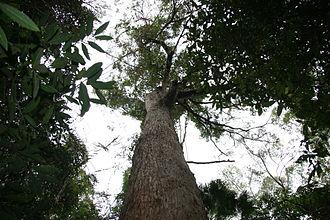 Eucalyptus microcorys - Image: Emicrocorys Alex FCA2