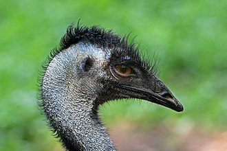 Casuariiformes - Emu