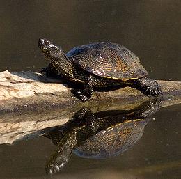 Mocsári teknős (Emys orbicularis)