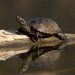 Europäische Sumpfschildkröte, Aufnahme aus den Donauauen bei Orth an der Donau.