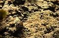Encroutement algal et ou bactérien sur plantes aquatiques aout 2016 Sèvre niortaise F.Lamiot 07.jpg