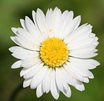 English Daisy (Bellis Perennis).jpg