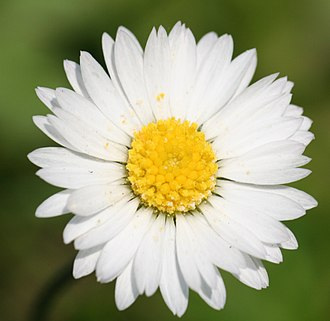 Botanical name - Bellis perennis has one botanical name and many common names, including perennial daisy, lawn daisy, common daisy, and English daisy.