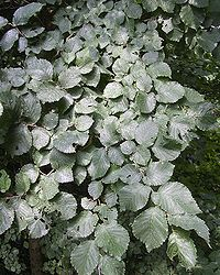 English elm foliage
