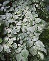 English elm foliage.jpg
