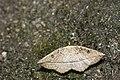 Entomopteryx rubridisca (43601314040).jpg
