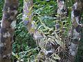 Epidendrum radicans Pav. ex Lindl. (5592617410).jpg