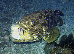 Grouper - Wikipedia